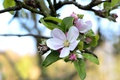 Картинка макро, ветка, весна, яблоня