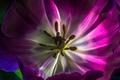 Картинка цветок, природа, краски, тюльпан, лепестки