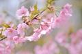 Картинка вишня, розовый, ветка, весна, сакура
