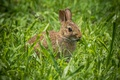 Картинка уши, кролик, трава