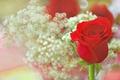 Картинка роза, бутон, боке