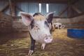 Картинка фон, сарай, свинья