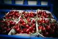 Картинка вишня, ягоды, много, черешня, бордовые