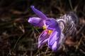 Картинка макро, весна, лепестки, прострел