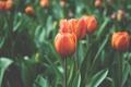 Картинка макро, цветы, красный, тюльпаны
