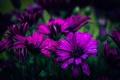 Картинка капли, боке, Purple daisies