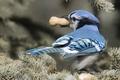 Картинка птица, арахис, Голубая сойка
