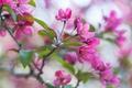 Картинка розовый, ветка, весна, яблоня