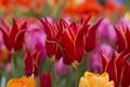 Картинка бутоны, тюльпаны, весна, макро