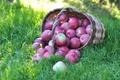 Картинка трава, корзина, яблоки