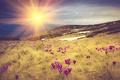 Картинка трава, цветы, горы, рассвет, луг, крокусы, лучи солнца