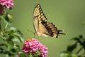 Картинка бабочка, крылья, махаон, лантана