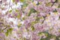 Картинка дерево, розовый, весна, сакура, цветение