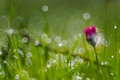 Картинка трава, макро, роса, маргаритка