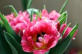 Картинка розовый, тюльпан, лепестки