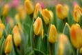 Картинка макро, желтый, тюльпаны, бутоны