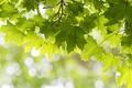 Картинка листья, зеленый, дерево, клен
